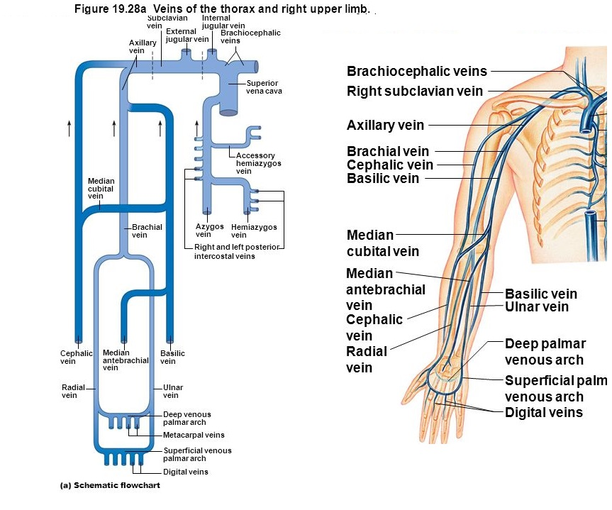 Upper Extremity Venous Diagram Wiring Library
