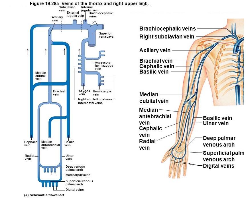 Upper Extremity Venous Diagram Online Schematic Diagram