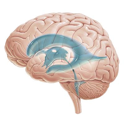 VbkuJNhCWOlgCJpltgcDZQ_Ventricles_of_the_brain.png