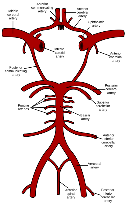 Circle_of_Willis_en.svg.png
